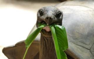 Riesenschildkröten auf den Seychellen